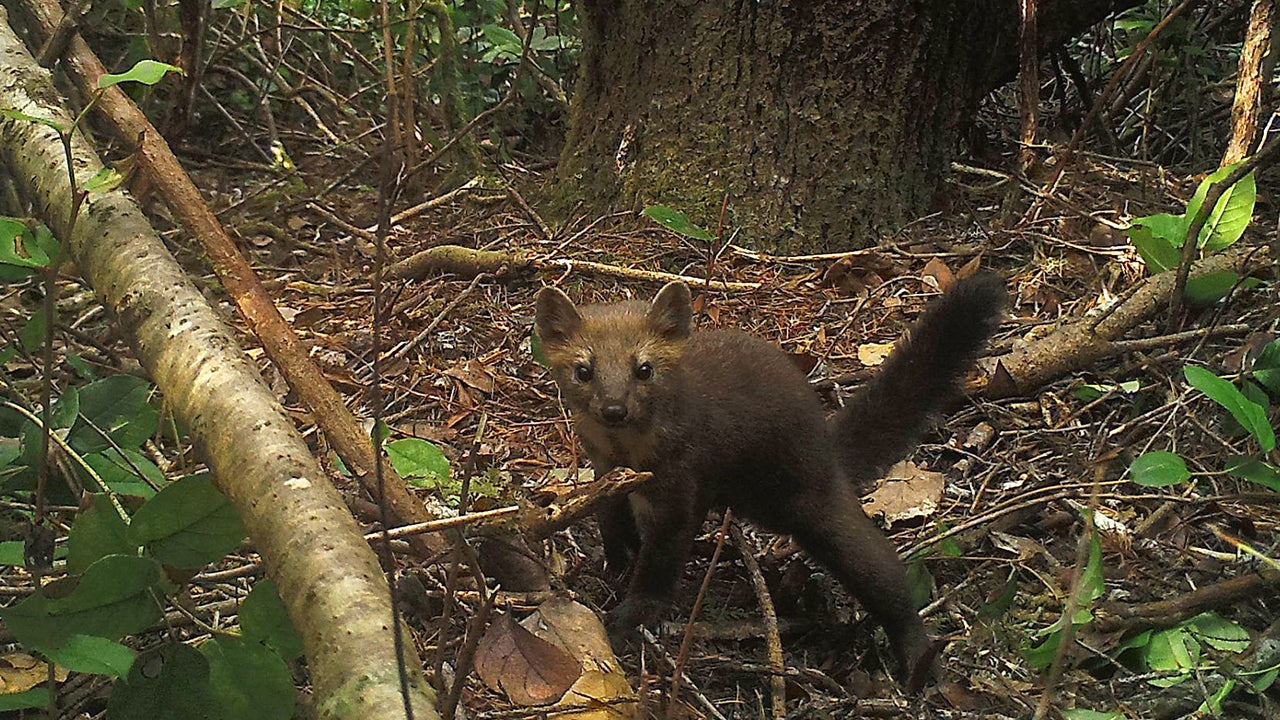 Adorable Oregon Predator Could Be Wiped Out By Marijuana