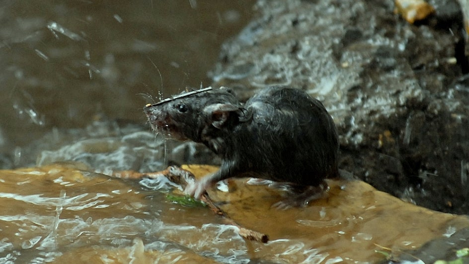 Hantavirus, a Virus Spread by Rodents, Kills Man in China | The ...