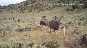 Deer cross under a wildlife friendly fence