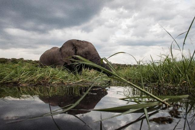 An elephant splashes in the waters of the Chobe river in Botswana, which has Africa's largest elephant population