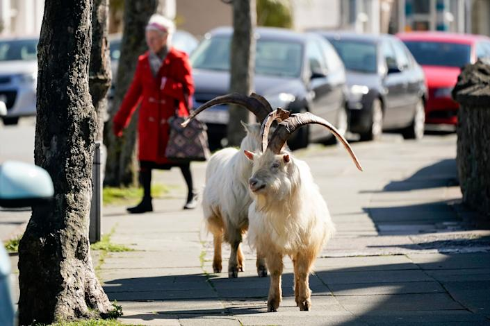 As UK goes on Lockdown over COVID-19, Wild Goats takes-over Streets.