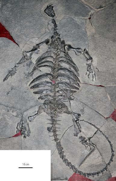 the fossil skeleton of Eoorhynchochelys sinensis was found in Guizhou province, China (AFP Photo/Xiao-Chun Wu)