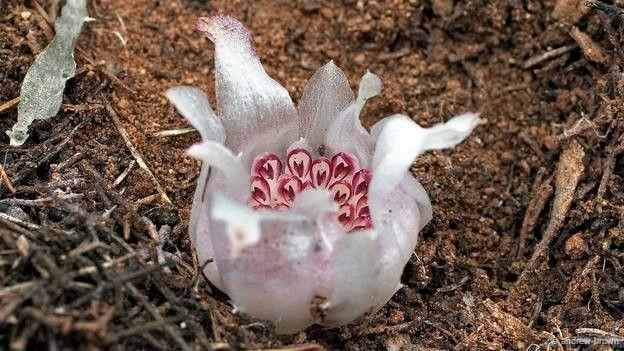 Удивительный цветок, растущий под землей в темноте