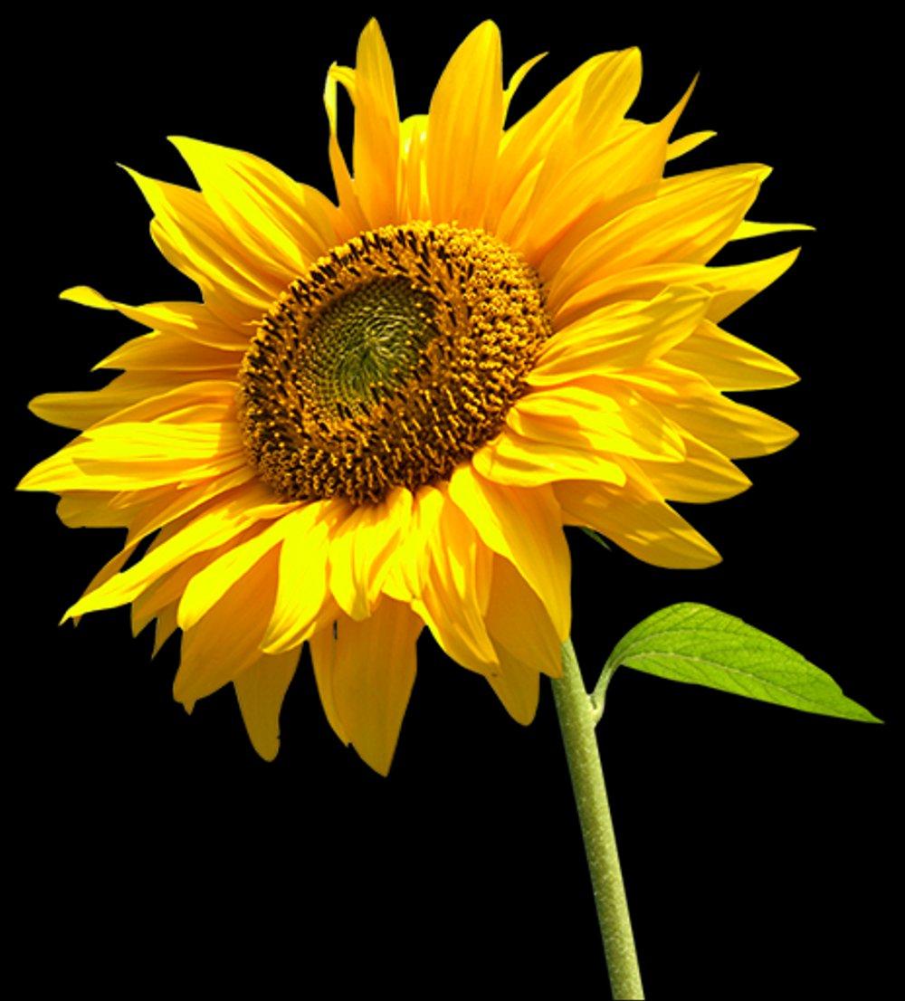 Gambar Bunga Matahari Yg Indah