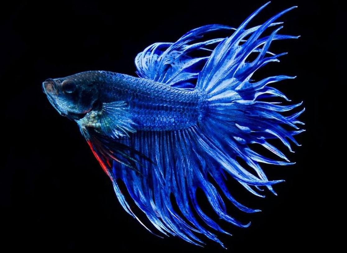 7 Jenis Ikan Cupang Hias Terbaik untuk Dipelihara  BukaReview