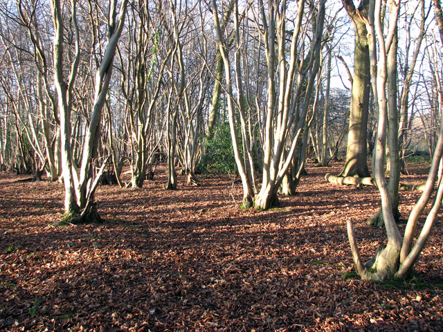 TM1497 : Lower Wood Nature Reserve - coppiced trees