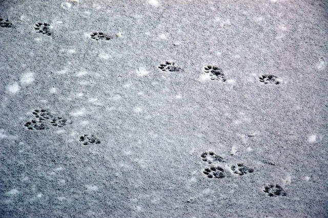 Otter Tracks on the Snow-Covered Ice
