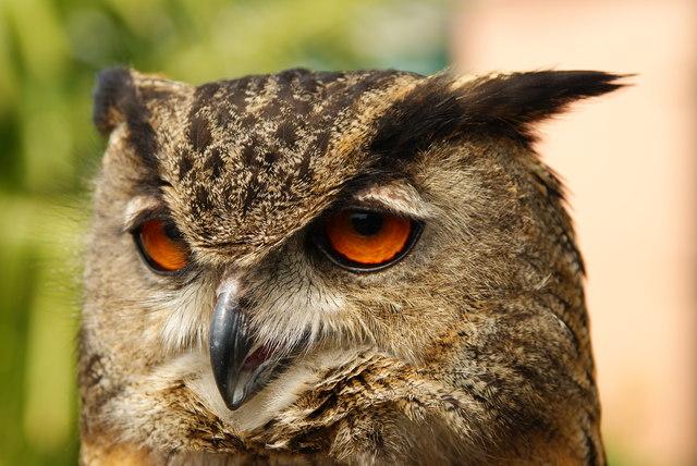 TQ1829 : European Eagle Owl, Huxley's, Horsham, Sussex (2)