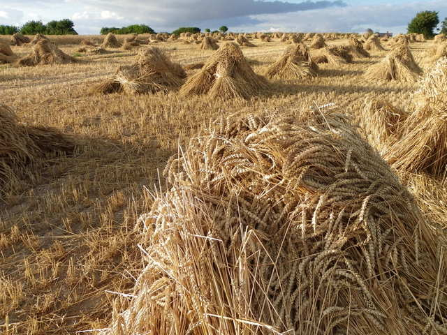 wheat sheaves horton maigheach