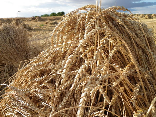wheat sheaves north farm