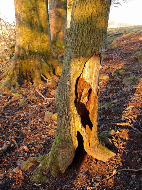 Image result for large tree with decay