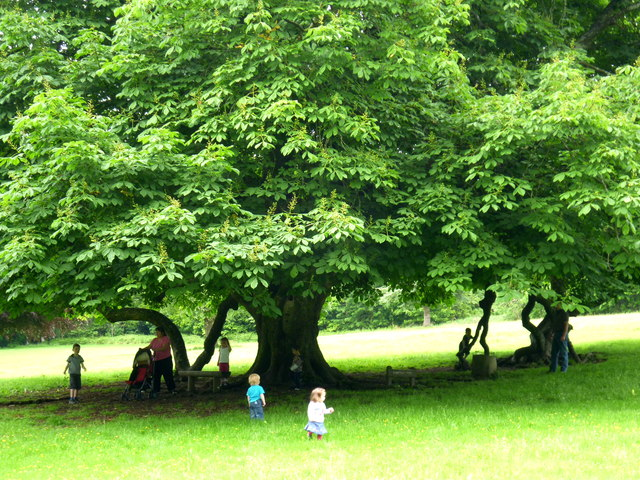 The old Horse Chestnut tree in Dun na Ri  D Gore  Geograph Ireland