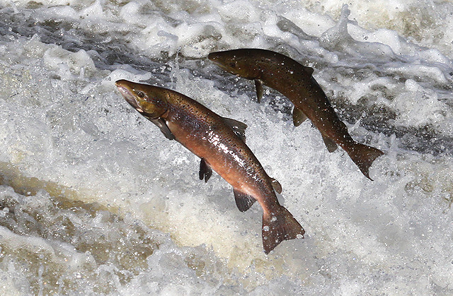 Jumping salmon at Murray's Cauld, Philiphaugh by Walter Baxter on geograph.org.uk. Used under Creative Commons license. http://www.geograph.org.uk/photo/3191883