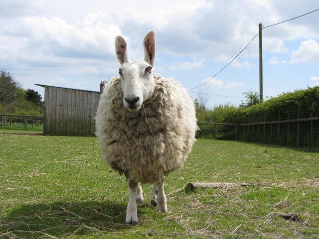 Border Leicester Sheep At Folly Farm 169 Gareth James