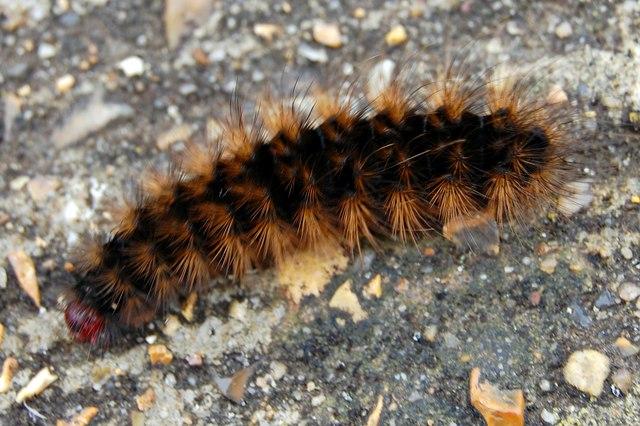 Big hairy caterpillar on the seawall  John Myers