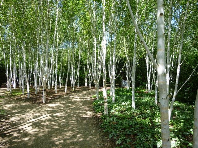 Silver birch trees on the winter walk  Sandra