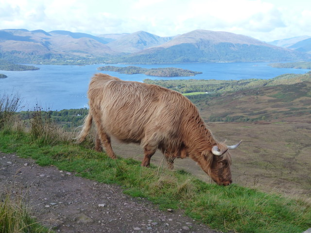 Image result for conic hill cow