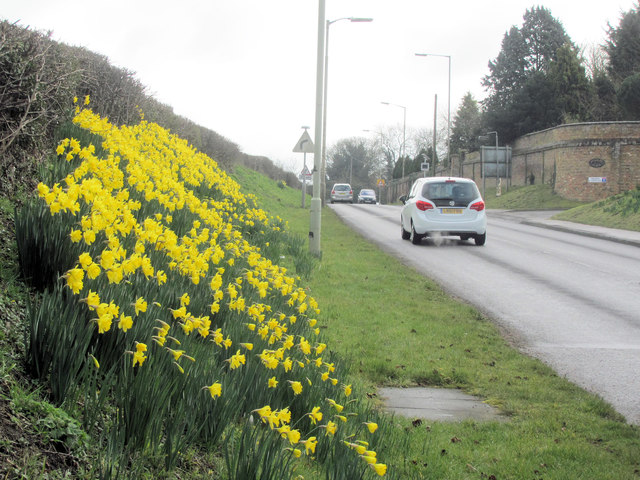 Daffodils in London Road, Tring