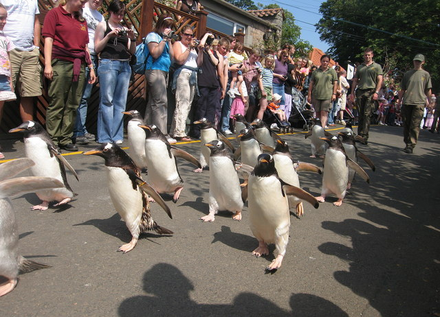 Penguin Parade Lisa Jarvis Geograph Britain And Ireland