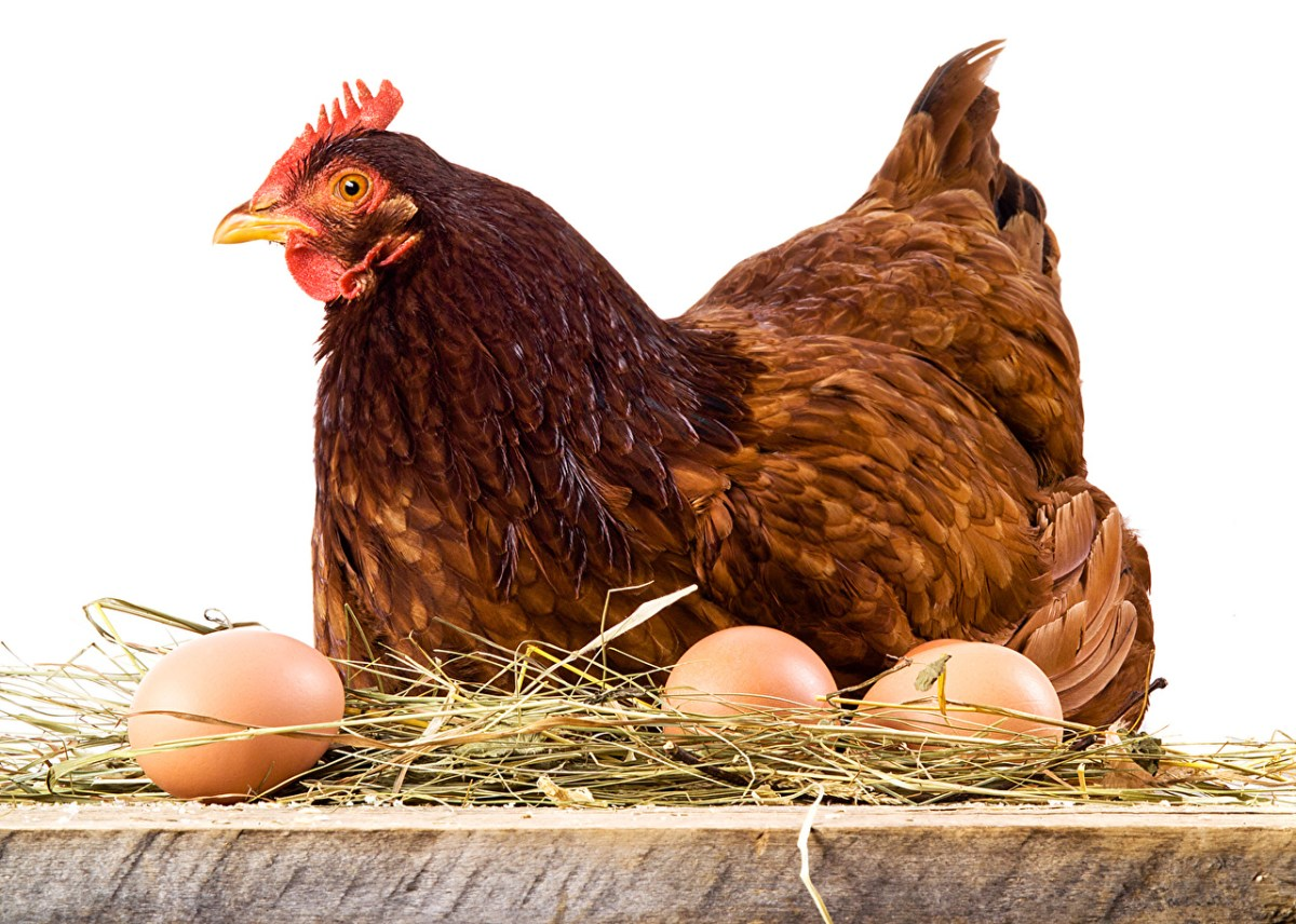 A Definitive Guide on Brooding Chickens in 2021
