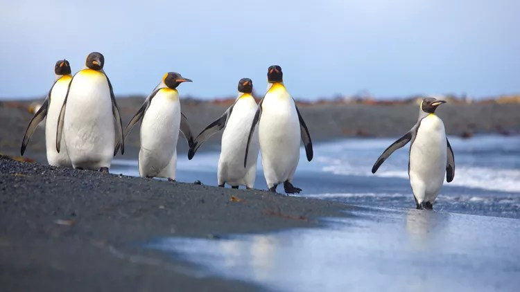 Penguins Land Australia