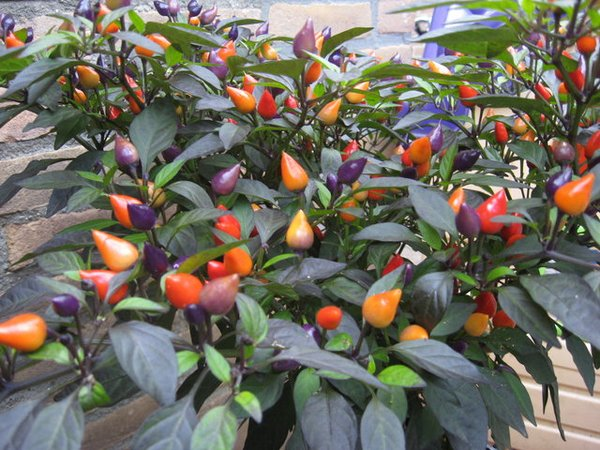 Benih-Bibit Super-Seeds Bolivian Rainbow Pepper- Cabe warna warni. cabe unik