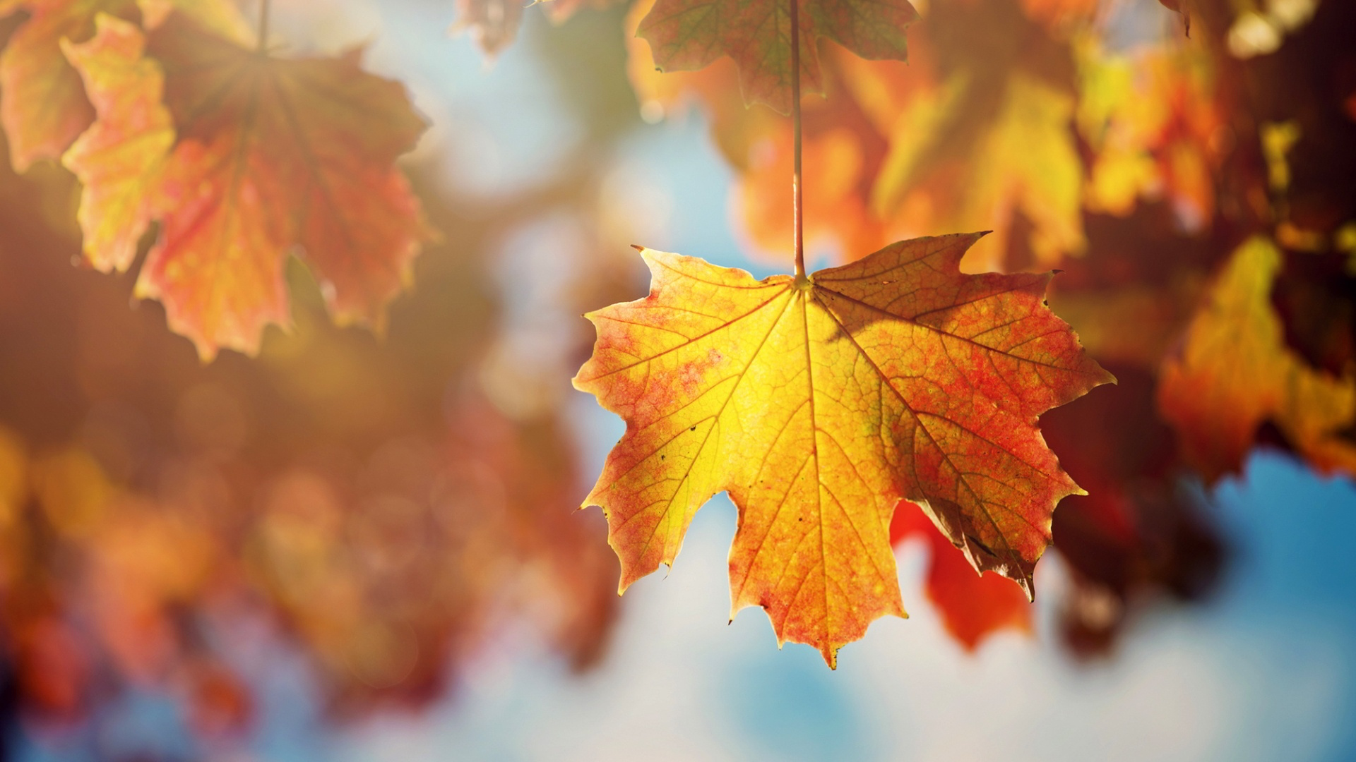Fall Leaves Falling Wallpaper Maple Leaves Wallpapers Wallpaper High Definition High