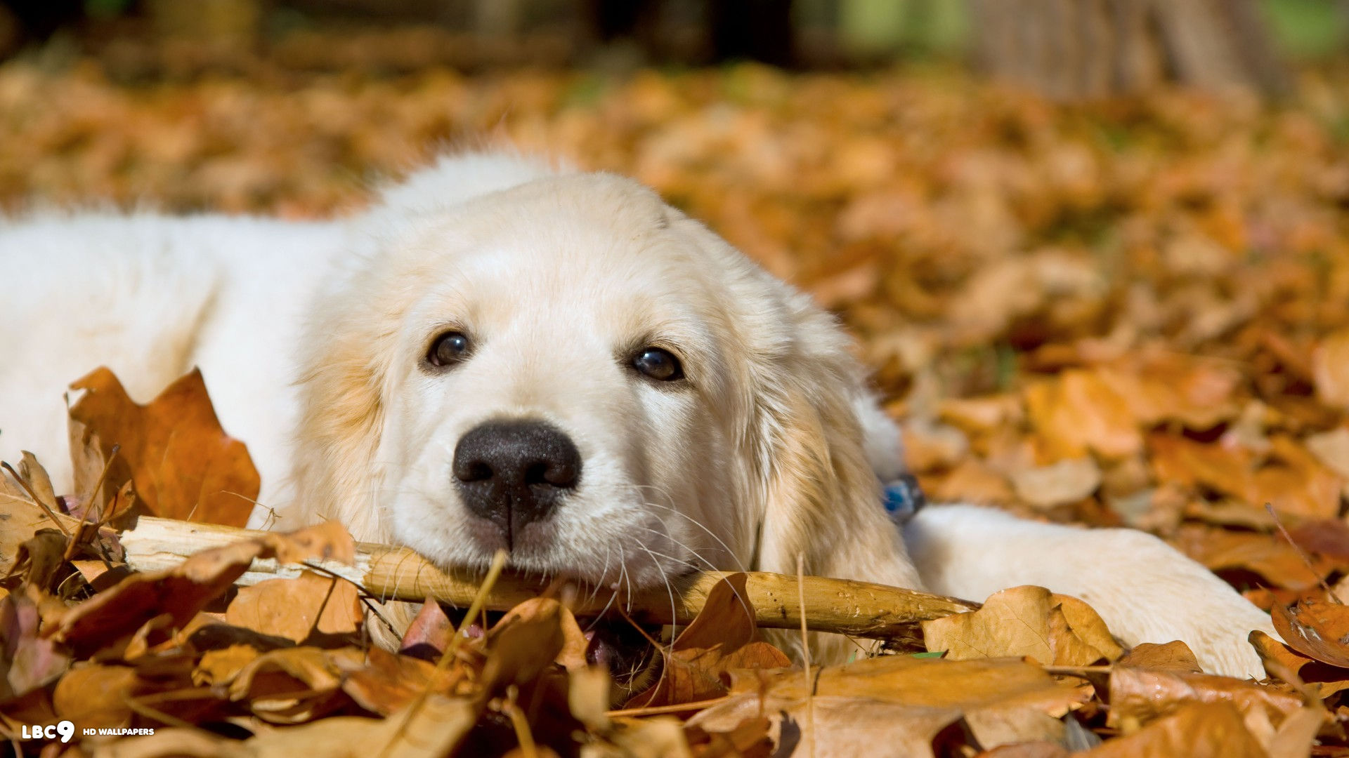lovely golden retriever wallpaper