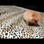 So Cute Teacup Pomeranian For Sale Tea Cup Puppy For Sale Video Dailymotion