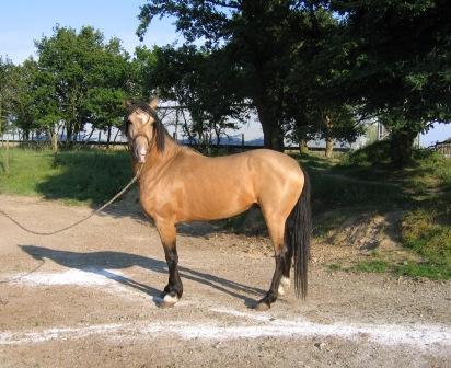 levage de chevaux barbes et arabebarbes