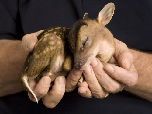 Image result for hand holding baby deer