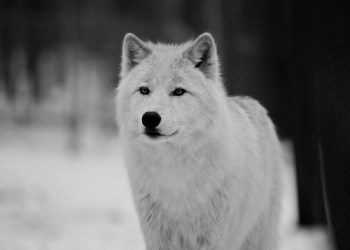 wolf animal wolves wolfs eyes imagination characters animals pretty