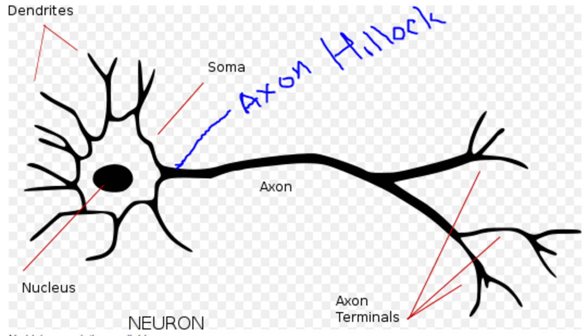 Multiple Choice Questions on Neurons