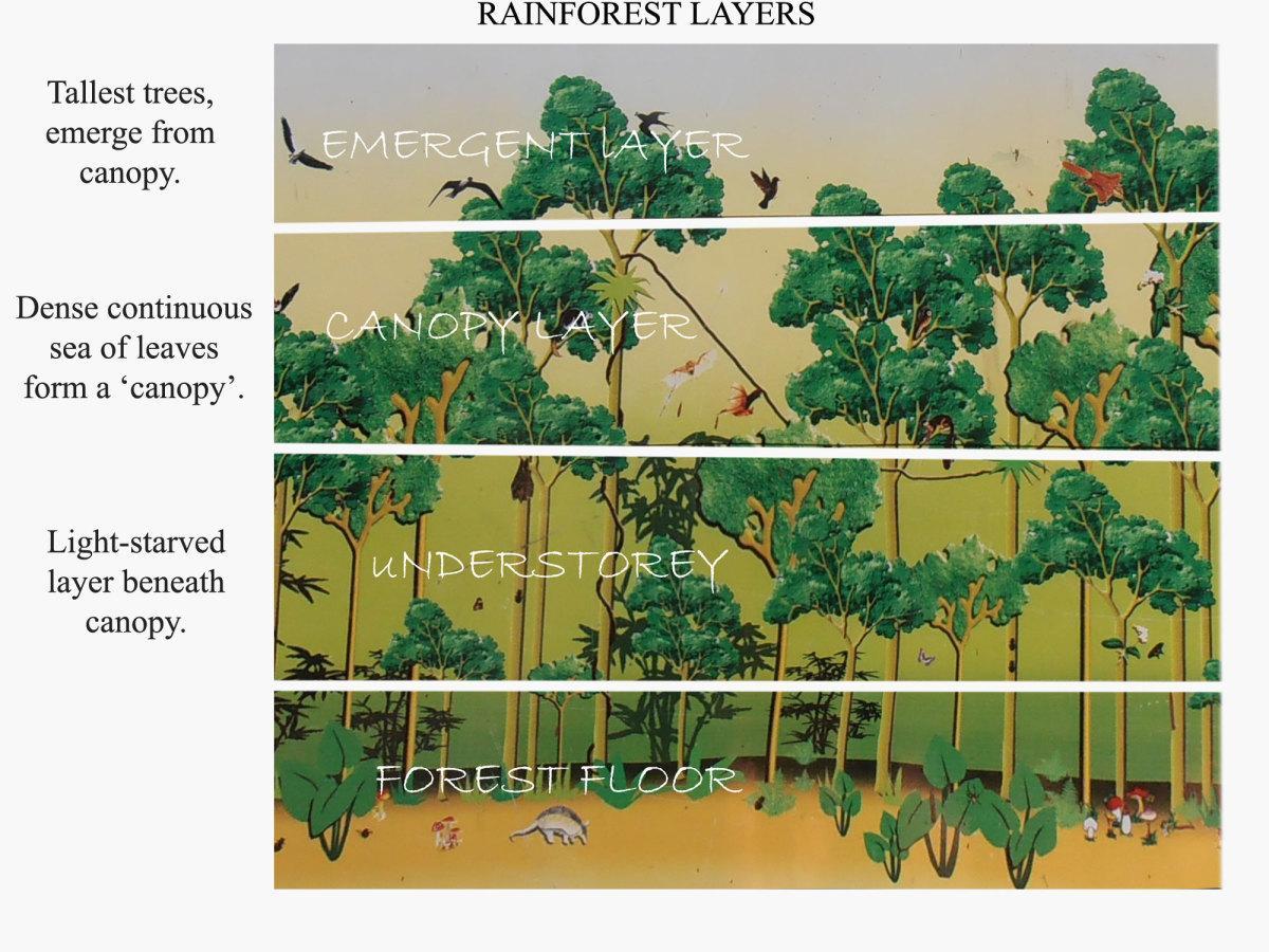 Rainforest Trees For Beginners