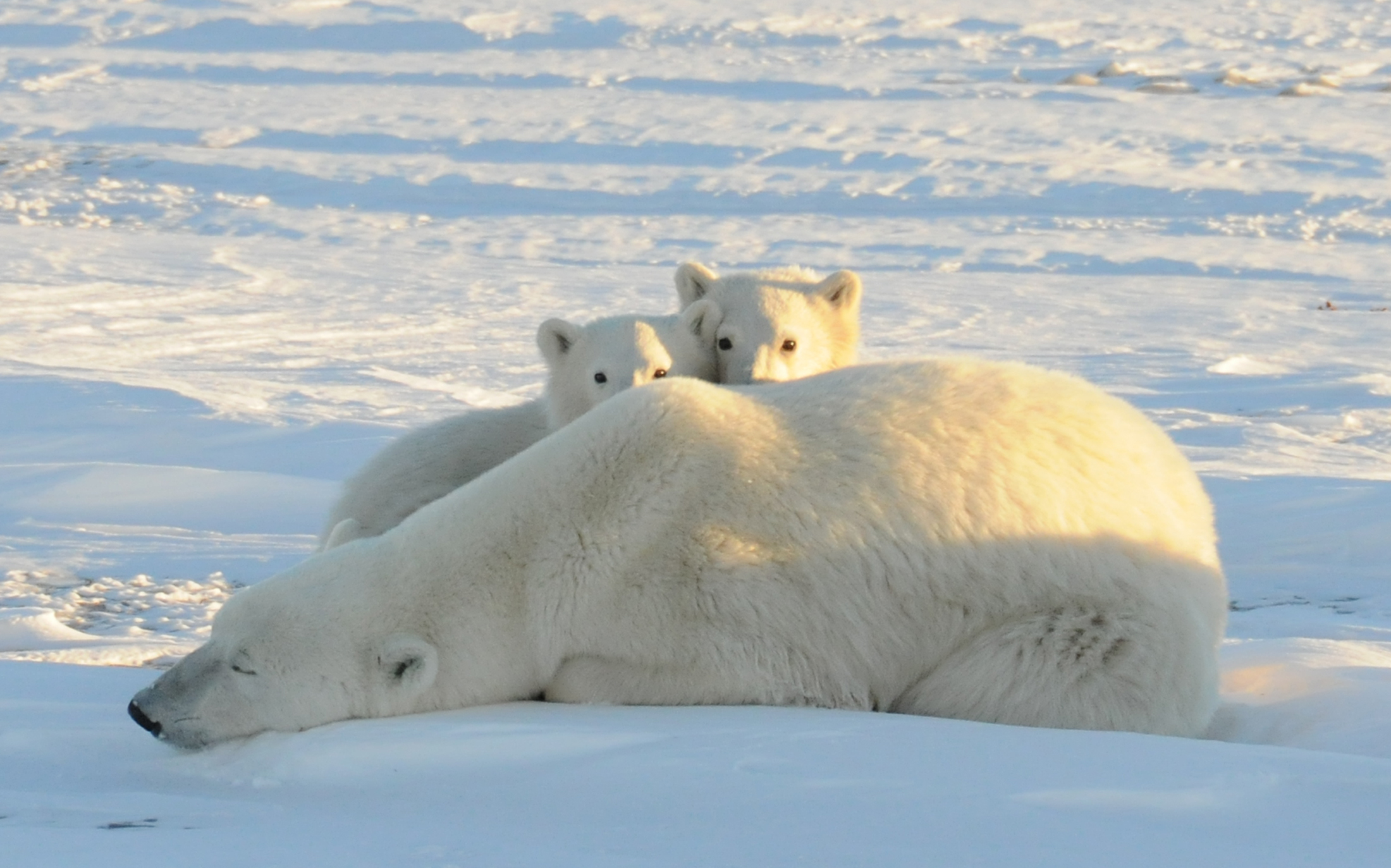 Cute Baby Polar Bear Wallpaper New Study Says Arctic Ice Melt And Extreme Weather