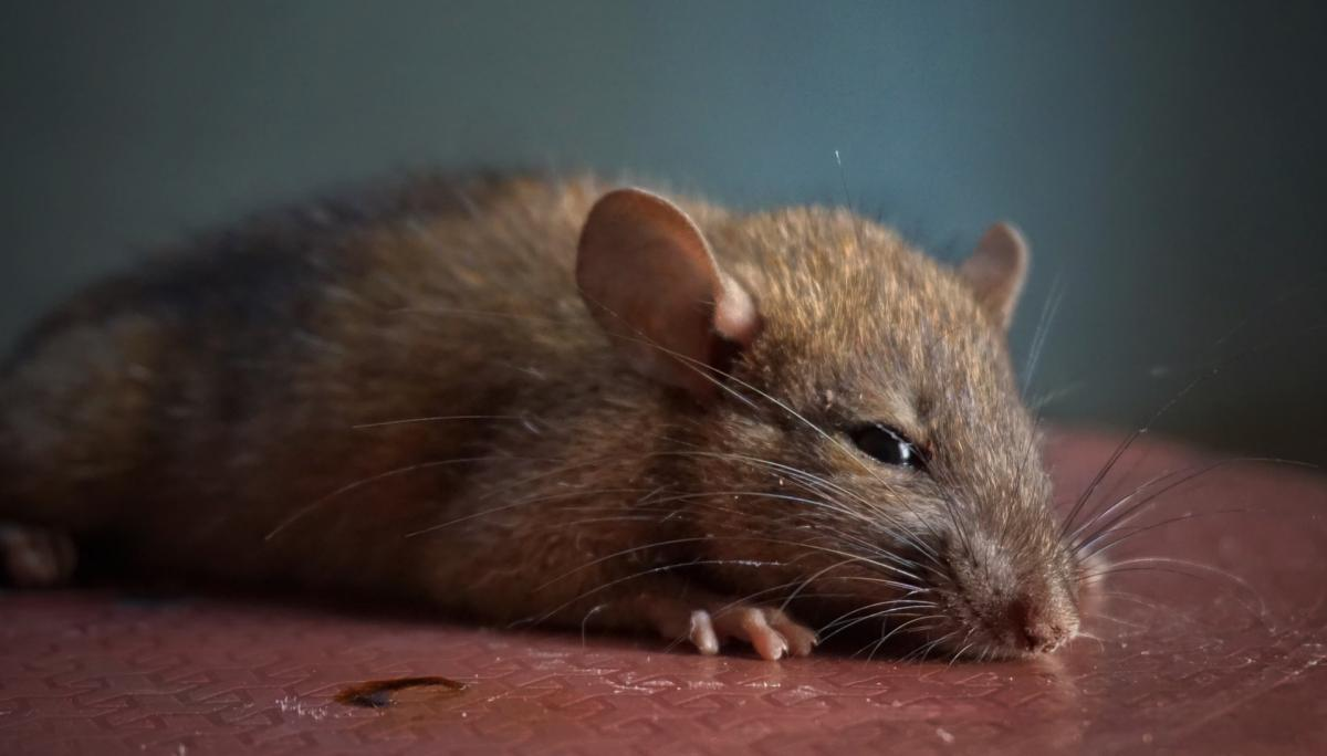 What Is Hantavirus And What Are The Symptoms Of Infection?