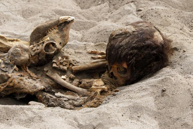 The remains of a child and a camelid are seen, part of the 42 children and 74 camelids remains unearthed that were sacrificed approximately 800 years ago in the fishing town of Huanchaquito, Trujillo