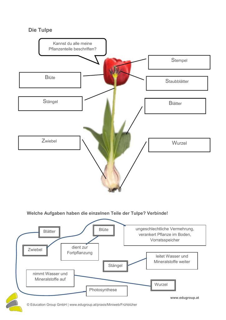 Tulpe Teile beschriften und Aufgaben verbinden