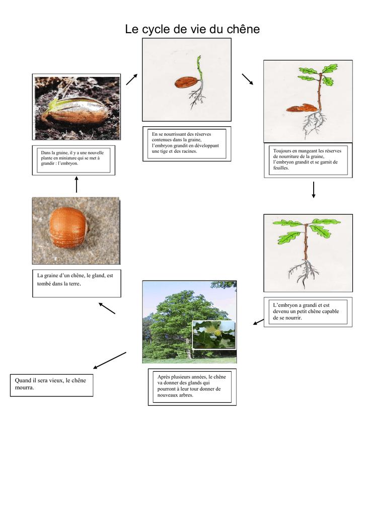 Cycle De Vie D'un Arbre : cycle, arbre, Cycle, Chêne