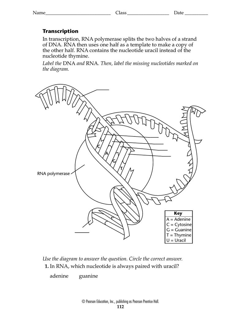 dna diagram worksheet labeled of a ship transcription 001891869 1 ca8c69a20cf4982ba53980562d2df0e6 png