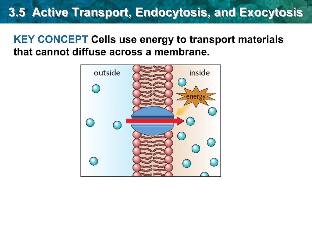 Endocytosis And Exocytosis Worksheet