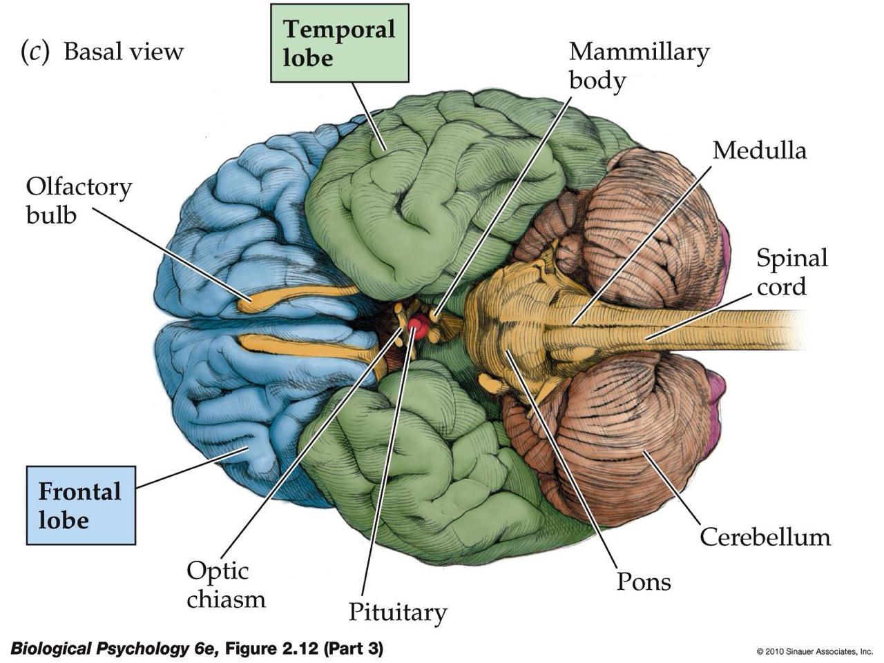 human skull diagram superior pioneer avic n1 cpn1899 wiring jasmine brains  thinglink
