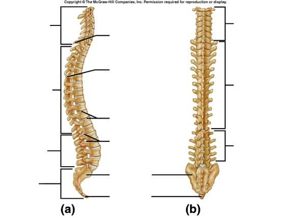 vertebrae diagram blank 7 prinzipien des handelns vertebral column great installation of wiring marlaina mahlow rh thinglink com foot bone