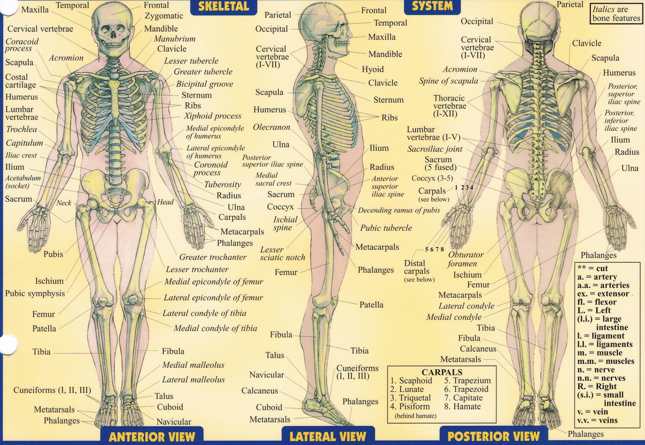 hight resolution of detailed skeleton diagram