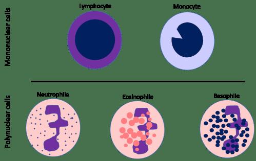 small resolution of white blood cells diagram development of wbc bswgvylfqssf8kkoqrlqdj51 png