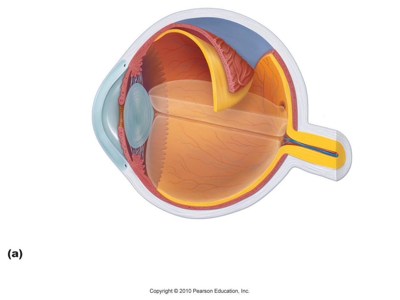Unlabeled Eye Diagram Label Parts Of The Eye Worksheet Wiring