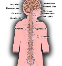 diagram of spinal nerve system [ 1354 x 1920 Pixel ]