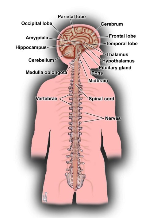 small resolution of diagram of spinal nerve system