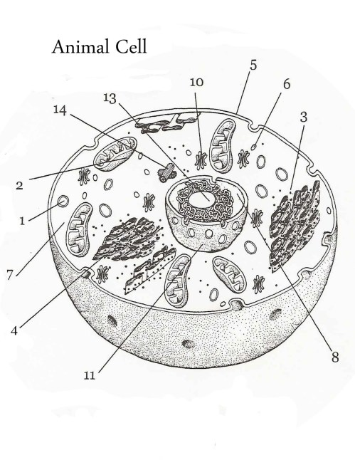 small resolution of Animal Cell by Sarah Trinite