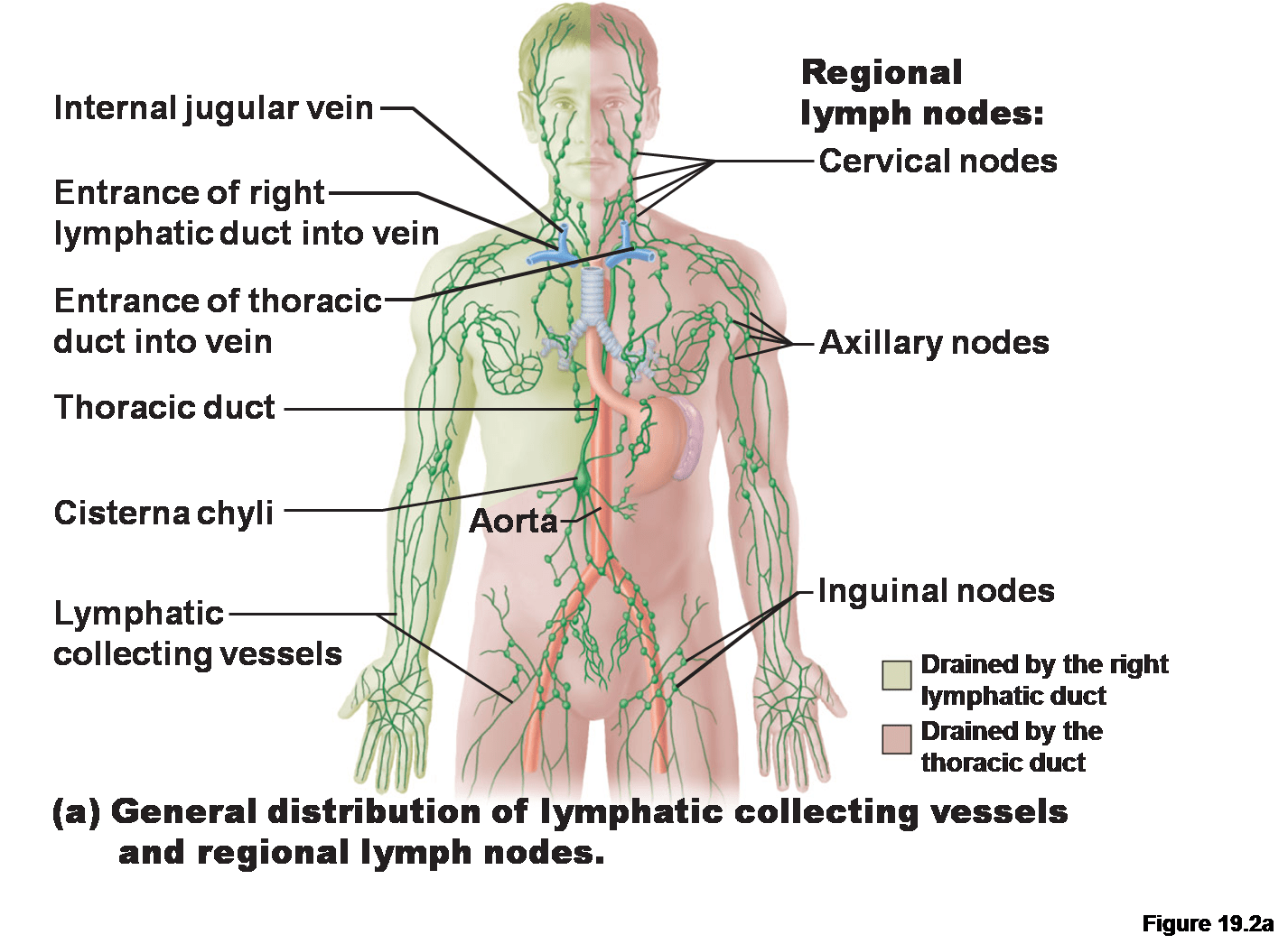 diagram nodes lymphatic system domestic wiring diagrams uk